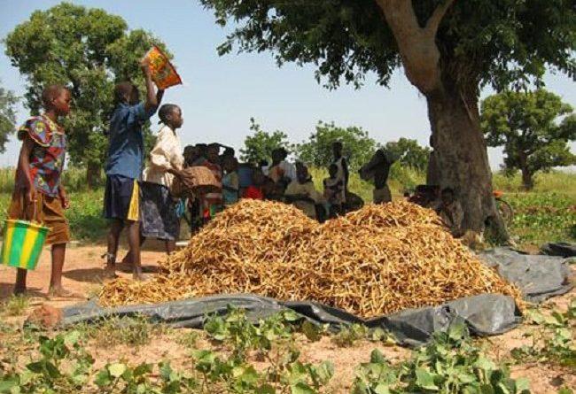Production du niébé dans le Sourou et le Nayala: Des labos dans les champs
