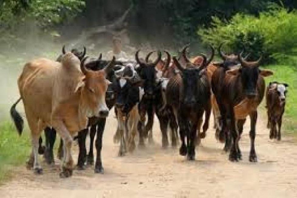 Gadiouga (Djibo) : des hommes armés non identifiés emportent plus de 200 bœufs