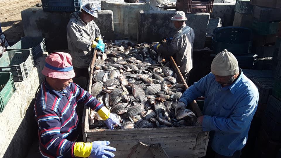 Le Ministère des ressources animales interdit l'importation et la commercialisation du poisson tilapia