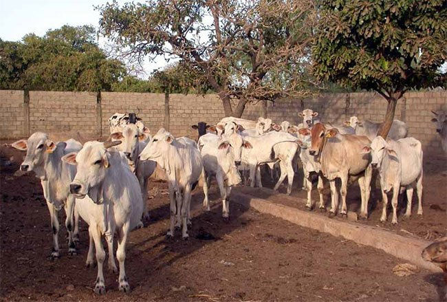 Dédougou: un préfet et 8 personnes déférés à la Maison pour détournement de bétails