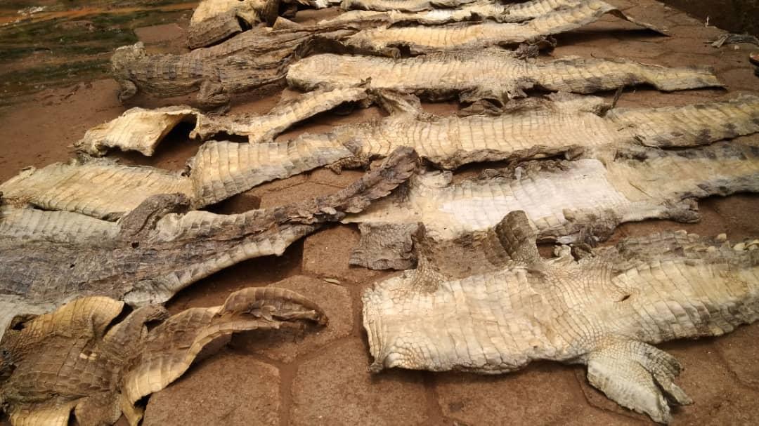 Burkina Faso: Des trafiquants peaux de crocodiles mis aux arrêts