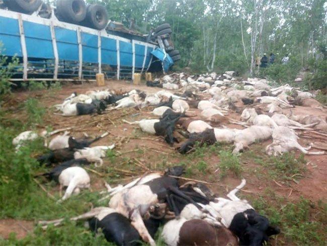 Burkina Faso: 2 pertes en vies humaines et près de 160 béliers tués dans un accident d'un camion