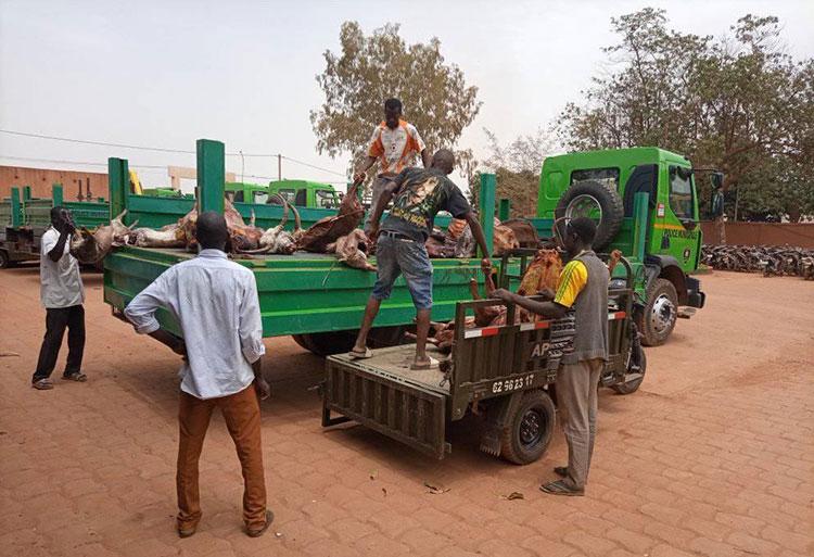 Abattage clandestin d'animaux à Ouagadougou: Une importante quantité de carcasses de bœufs et de petits ruminants  saisis